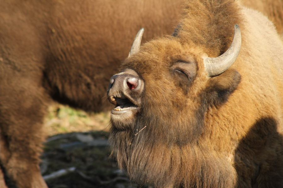 Wisent-Wildnis
